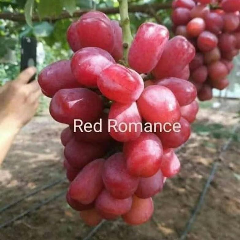 Bibit Anggur Import Red Romance Grafting Sumatra Selatan