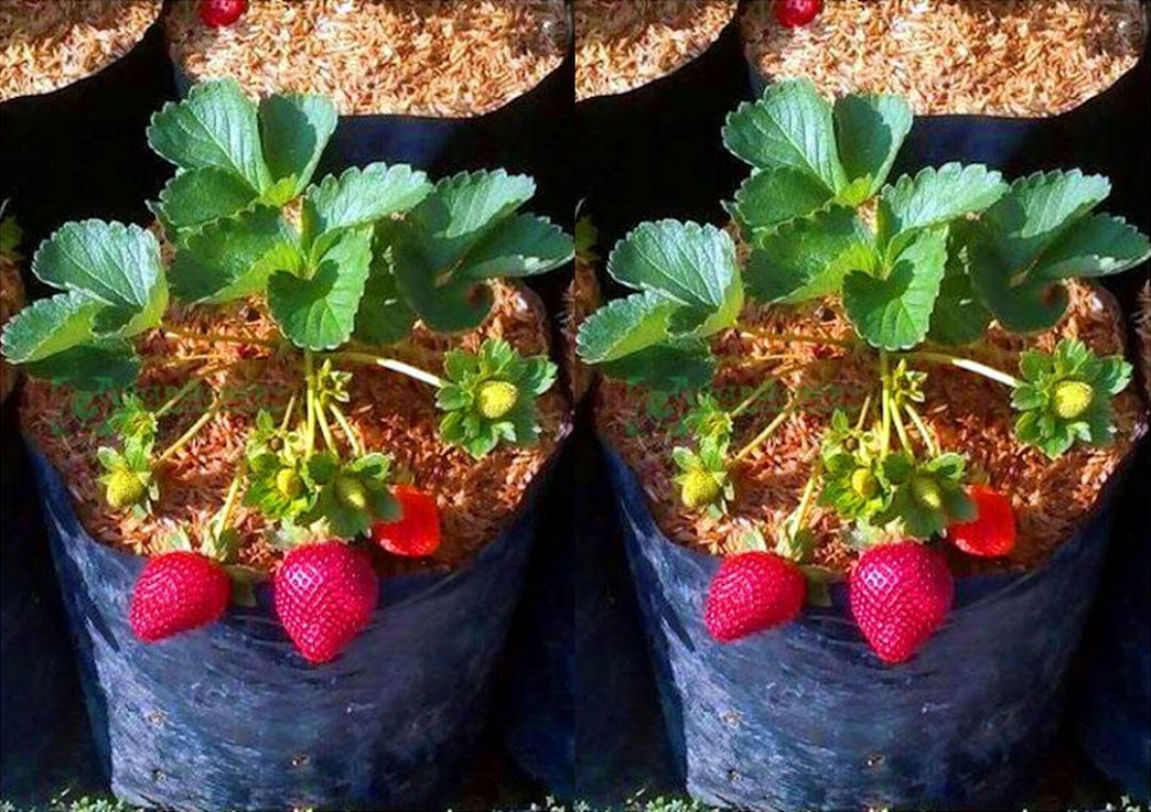tanaman strowberry california berbuah bibit strawberry California Jumbo Termurah Aceh