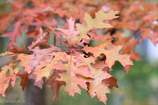 chêne des marais automne