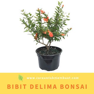 Bibit Delima Bonsai