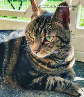 tabby cat in sunshine