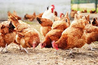 Οικιακή εκτροφή κοτόπουλων από έναν αρχάριο