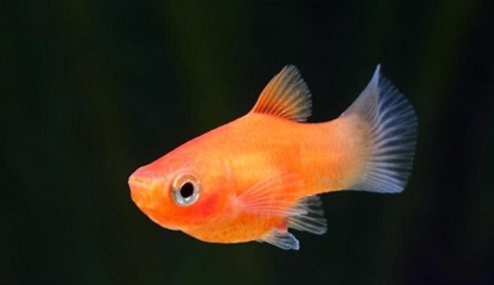 Ikan Hias Yang Kuat Hidup