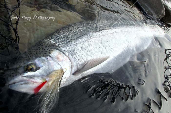 John Nagy's Steelhead Journal: 2018 Fall Steelhead Report
