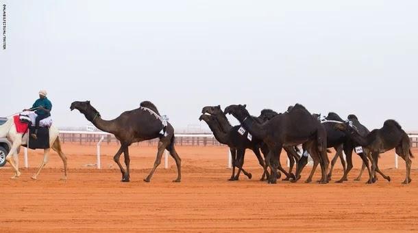 فتاة سعودية تتحدى الرجال في مهرجان الإبل... فيديو