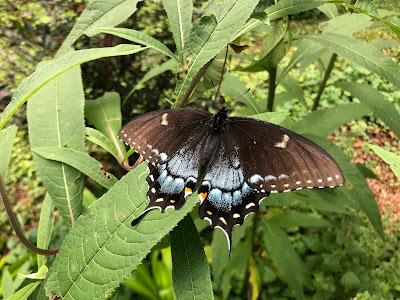 Spicebush Swallowtail in our butterfly garden.