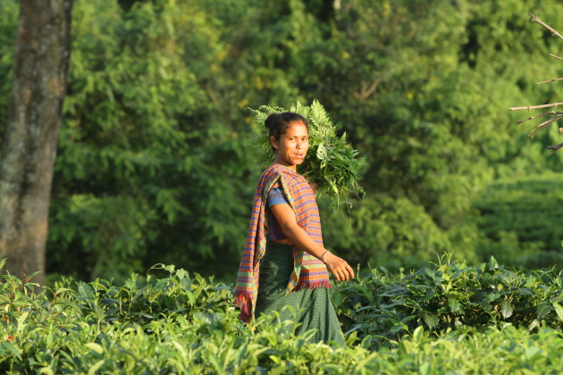 Mishing tribal woman working in the tea gardens, Assam, India