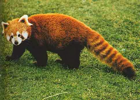 Red panda-state animal of sikkim