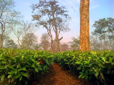assam tea garden hd wallpaper