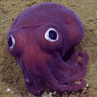 'Googly-eyed' Squid Spotted Off California Coast
