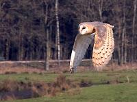 Barn Owl in flight – Sandesneben, Germany –photo by Jürgen