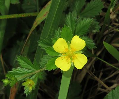 Flor amarilla de la Tormentilla (Potentilla erecta)