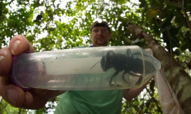 Lebah Terbesar Dunia Muncul di Indonesia Usai Hilang 38 Tahun