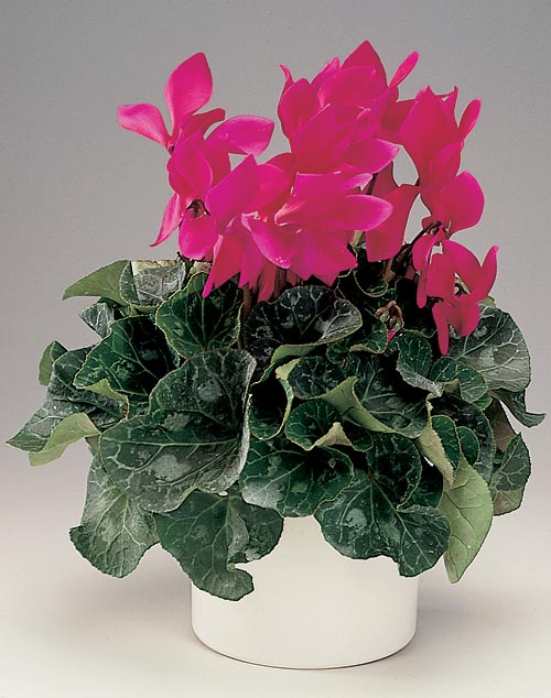 Cyclamen Plant Care Growing Tips Cutting Planting: How To Care Indoor And Tropical Plants