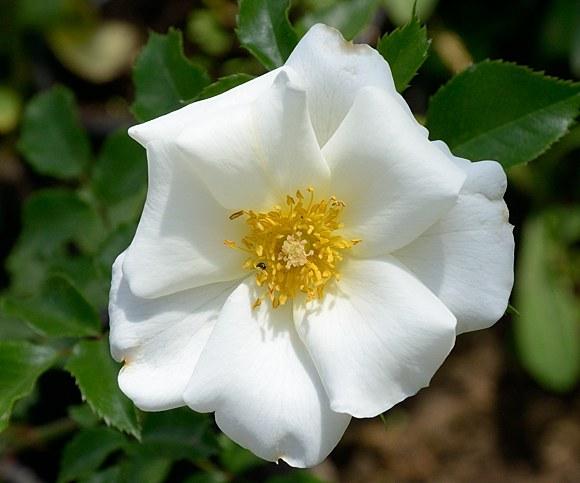 White Haze сорт розы Тантау фото купить саженцы Минск