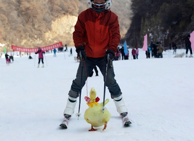 On a ski track at a ski resort in Sanmenxia, Henan province, China, one of the tourists rides with his hand duck.