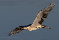 Grey Heron in Flight Diep River Woodbridge Island Canon EOS 7D Mark II Vernon Chalmers Photography