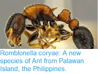 http://sciencythoughts.blogspot.co.uk/2015/05/romblonella-coryae-new-species-of-ant.html