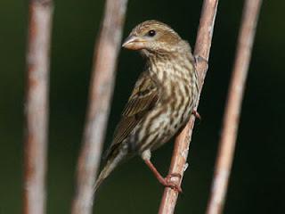 Photo of a female Purple Finch on a twig