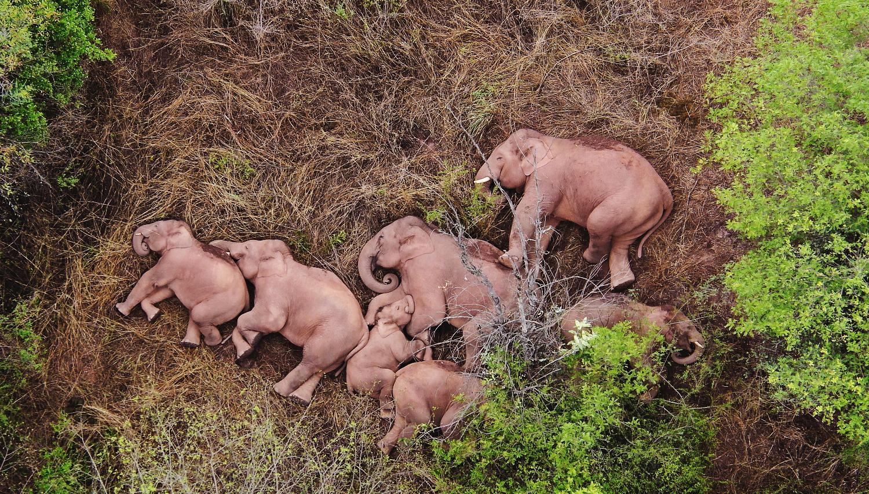 Đàn voi nằm chen nhau ngủ thật yên bình