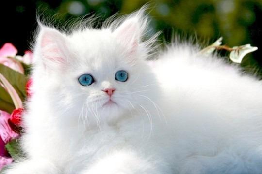 القط فارسي أو الشيرازي