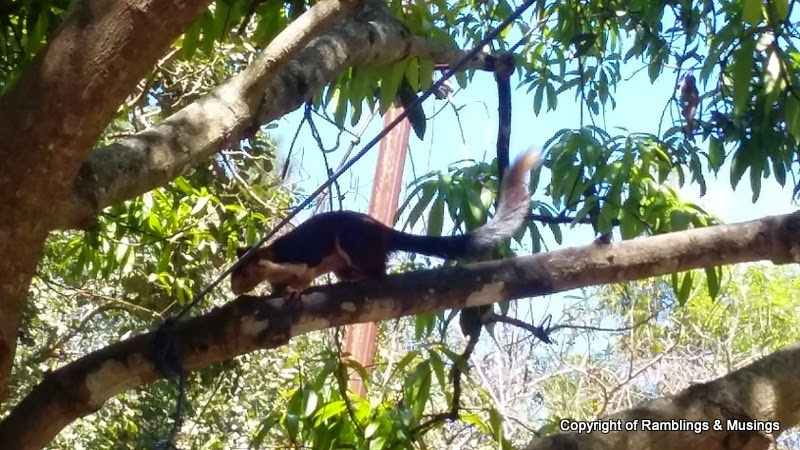 long squirrels in tirumala