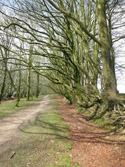 Avenue of beech trees with roots exposed.