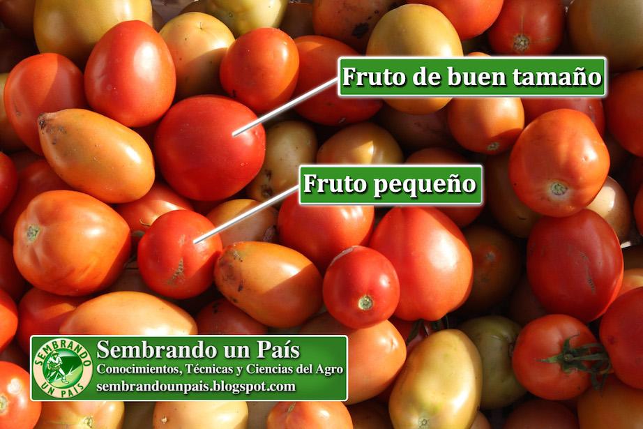 tamaños de frutos del tomate