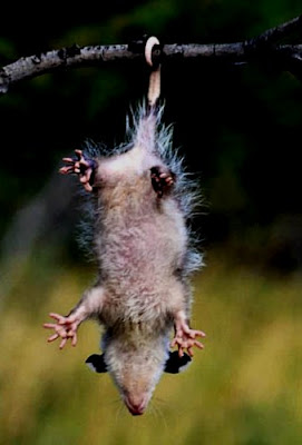 Opossums Amazing Facts