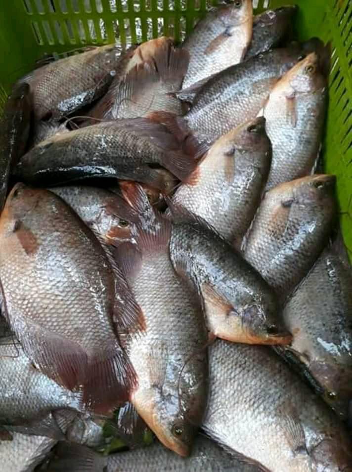 Budidaya Ikan Gurame Di Kolam Terpal : budidaya, gurame, kolam, terpal, Analisa, Usaha, Budidaya, Gurame, BOSTERNAK.COM