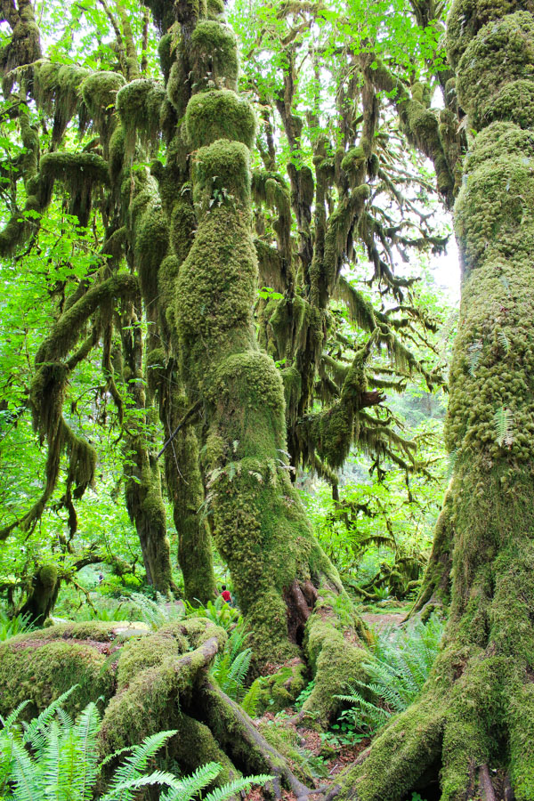 Hall of Mosses Trail, Olympic National Park