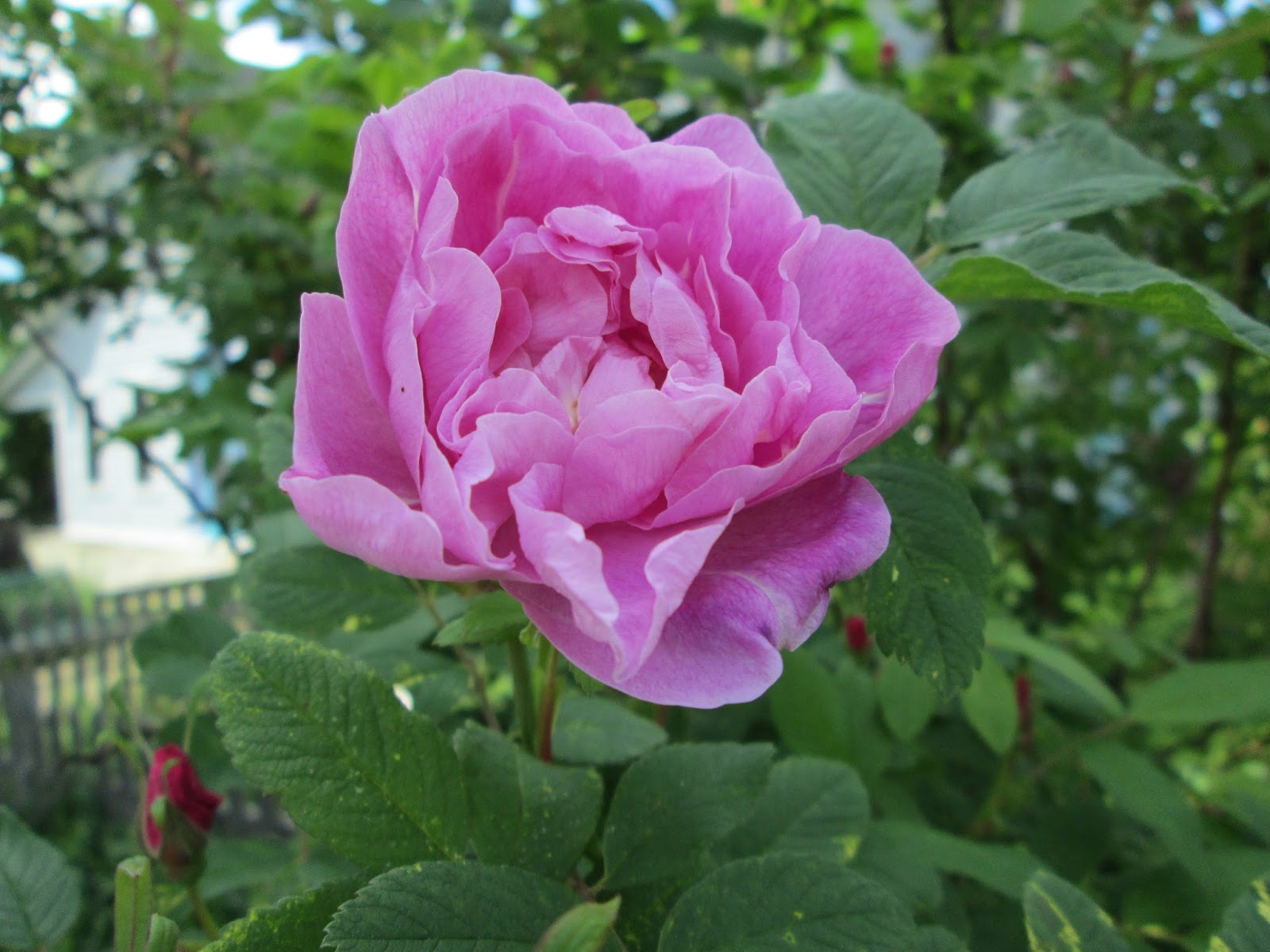 Stein Rose: Letters From A Hill Farm: 'A Rose Is A Rose Is A Rose