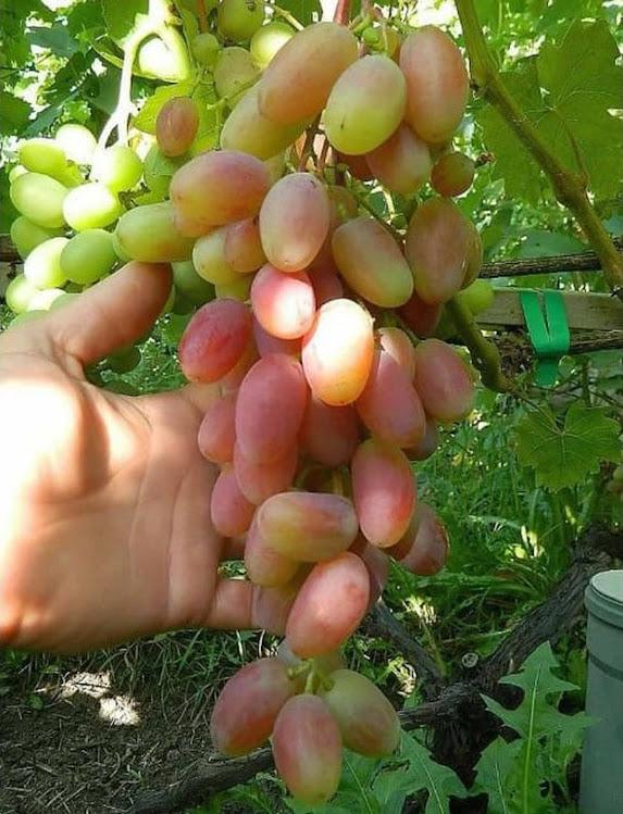 Bibit anggur Import transfiguration Transfigurasi Grafting Original Jawa Barat