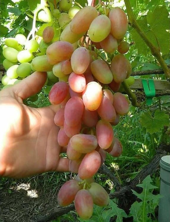 Bibit anggur Import transfiguration Transfigurasi Grafting Original Banten