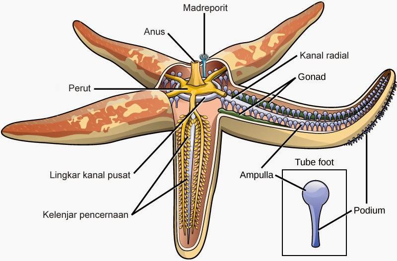 struktur tubuh echinodermata