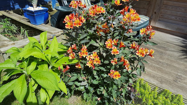ALSTROEMERIA 'Indian Summer'  in a garden