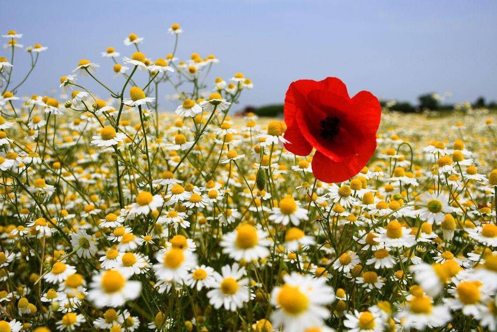 cvijeće-kamilica-mak-polje