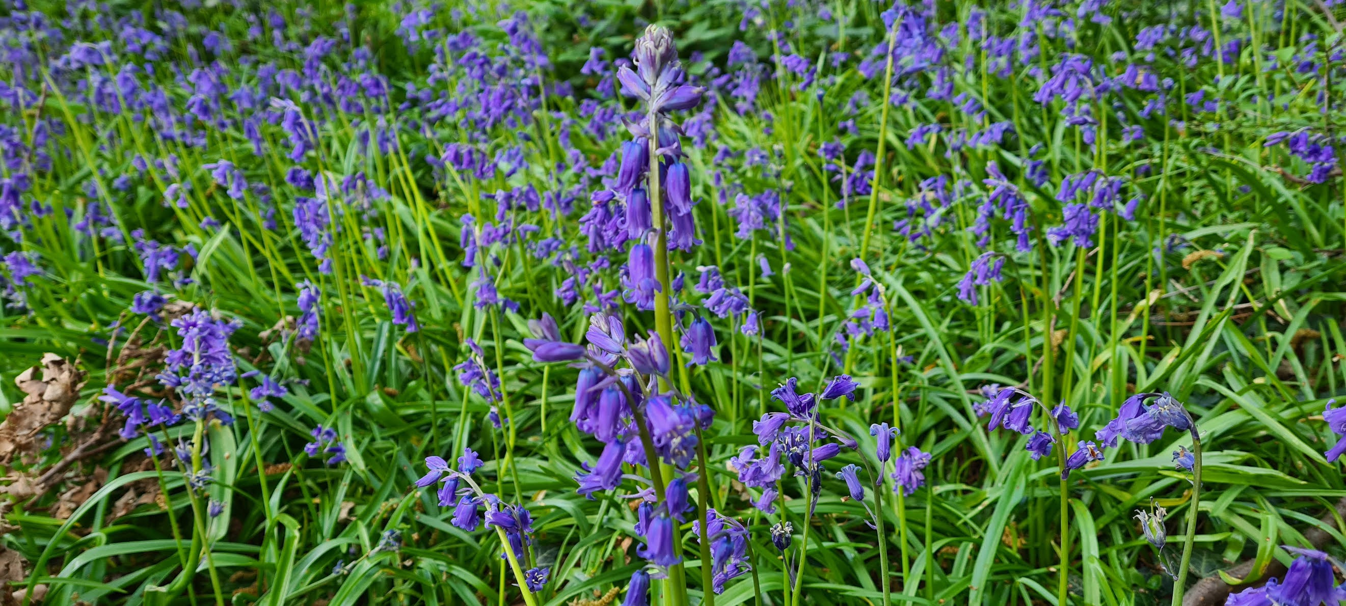 Bluebells in Larkswood East London, April 2021