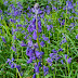 April 2021:  Sentence a Day: Bluebells, Vaccination 2,  Family Reunions