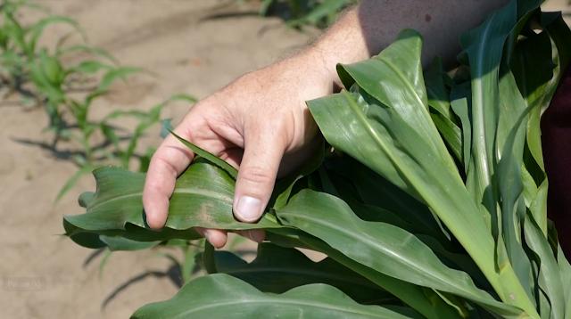 tissue sampling corn minnesota nitrogen