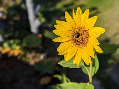 Biene beim Sammeln in den letzten warmen Sonnenstrahlen 2020