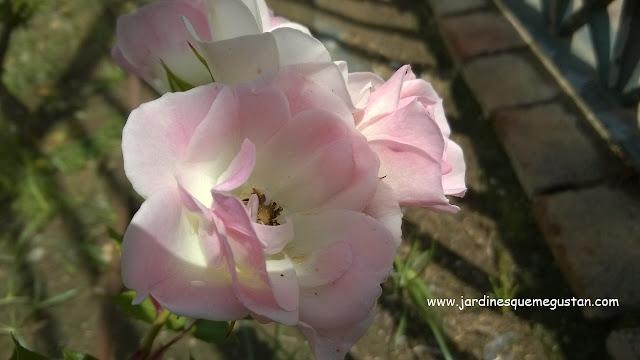 Rosal floribunda flor blanca