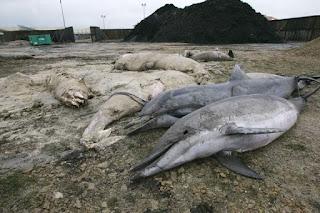 Cientos de delfines muertos aparecen en las playas francesas y los políticos no hablan de ello.