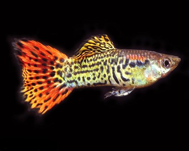 Ikan Guppy Cobra - Cara Budidaya Ikan