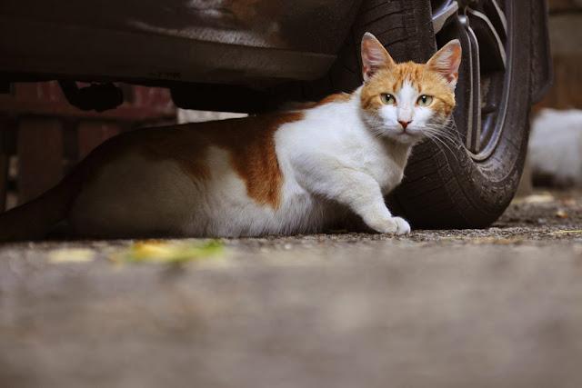 cara mengusir kucing di mobil