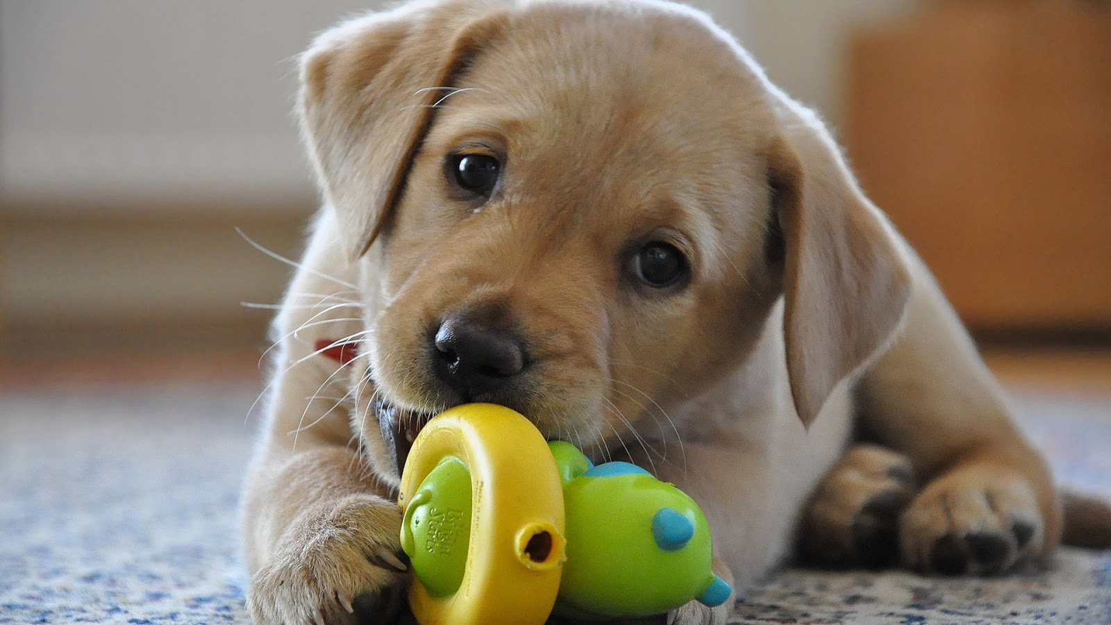 Cream Labrador Retriever puppy chewing on his toy and happy alone
