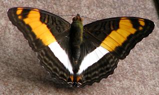 moth on tile floor