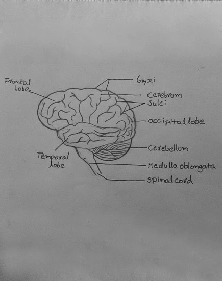 brain drawing with labels - photo #30