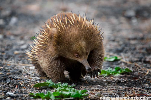 The Echidnas | All Wildlife Photographs