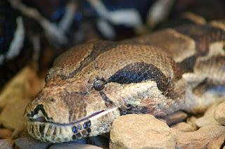 Amazon Anaconda